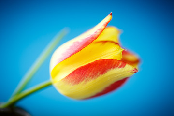 beautiful yellow with red tulip