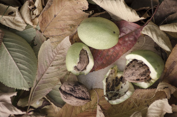 Autumn nuts between colored leaves