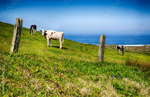 Foto op Canvas Koe California Happy Cows