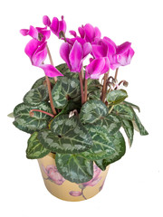 Bright pink cyclamen plant, flowers isolated over white.