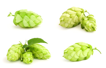 The collage fresh green hop.