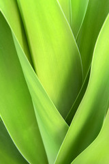 crinum lily  leaf