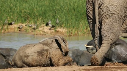 Playful baby African elephant  with its mother