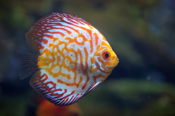 Discus Red Spotted Golden