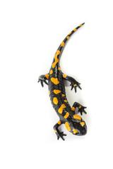 Salamandra pezzata isolata su sfondo bianco