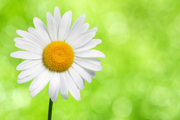 Daisy flower on green nature background