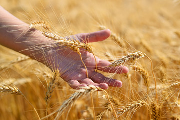Ripe wheat ears in hand