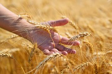 Ripe wheat ears in hand