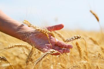 Wheat ears on field in hand