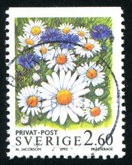 flower Oxe-eye Daisy
