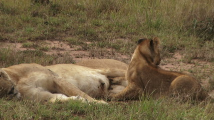 Lion cub suckling