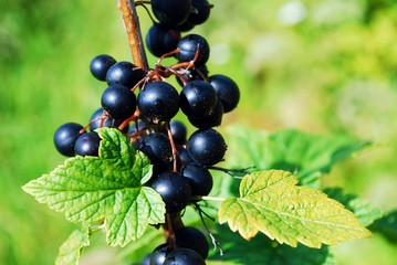 Branch with berries of black currant