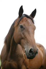 Portrait of nice purebred bay horse