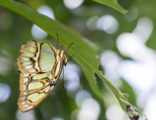 Schmetterling 01785