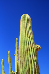 Cactus giganteschi in Arizona