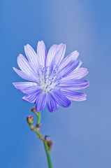 Chicory flower on blue background