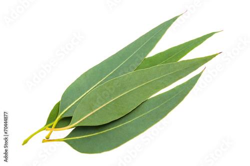 Papiers peints Vegetal eucalyptus leaves