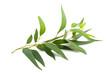 Leinwanddruck Bild - eucalyptus branch