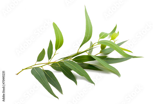 Foto op Aluminium Planten eucalyptus branch