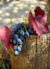 Bunch of grapes with leaves lying on the stump.