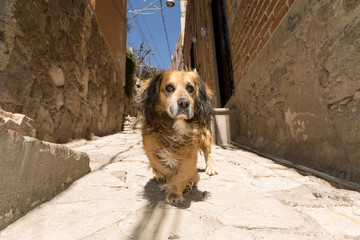 stray street dog in Guanajuato,Mexico