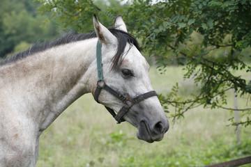 Gray horse eating tree leaves