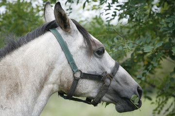 Gray horse eating tree leaves
