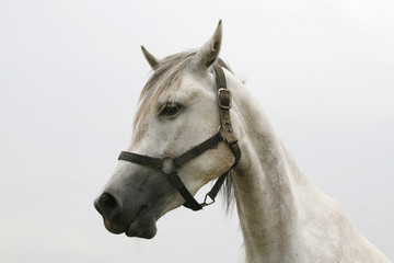 Head of a  shagya arabian horse in pasture