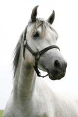 Portrait of an beautiful arabian white horse