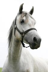Portrait of an beautiful arabian white horse