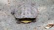turtle hide head (2 shots)