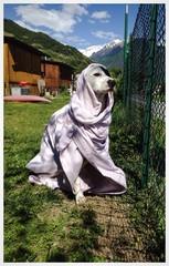 Cane dopo il bagno nel lago di Como