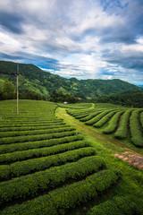 The green tea field on the mountain