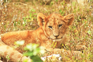 Lion Cub on the Masai Mara in Africa