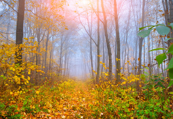 Colorful autumn morning in the foggy autumn forest