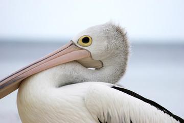 Pelican 003