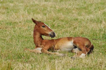 Young foal in a summer meadow