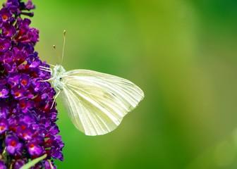 Lila Sommerflieder mit Schmetterling