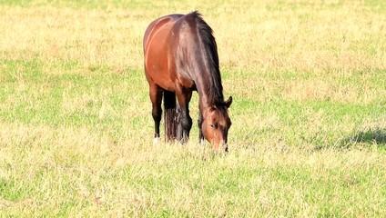 Braunes Pferd auf der Wiese beim Fressen