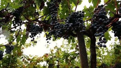 grapes_039