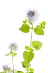 ウォーターミントの花
