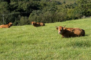 Vaches Blonde d'Aquitaine