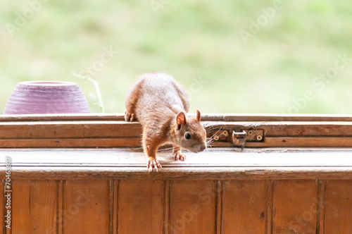 Red squirrel at the window