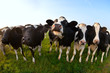 canvas print picture - cows on green pasture close up