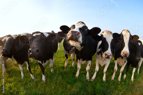 canvas print picture cows on green pasture close up