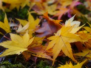 黄色いモミジの落葉