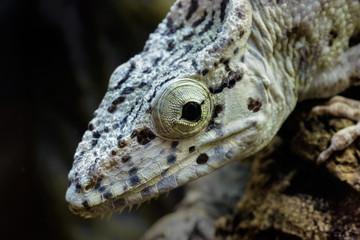 Young False Chameleon