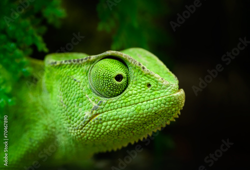 Papiers peints Cameleon Green chameleon
