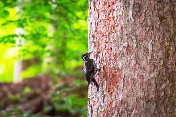 Woodpecker bird on the tree