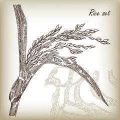 Rice set. Spikelet of rice and rice field hand drawn vector